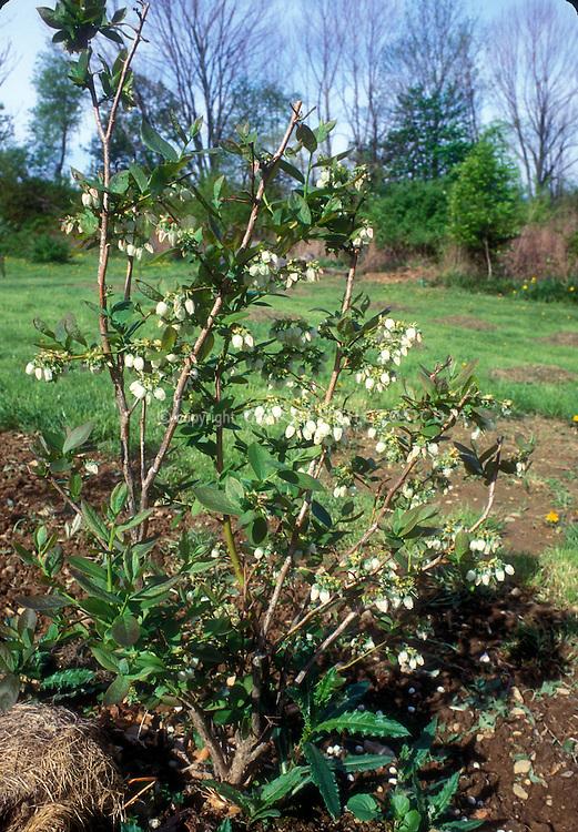 Blueberry Flowers Vaccinium corymbosum Highbush