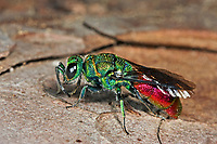 Gemeine Goldwespe, Feuer-Goldwespe, Feuergoldwespe, Gold-Wespe, Chrysis ignita, Chrysis longula ,Chrysis ignita var. longula, Tetrachrysis ignita var. longula, common gold wasp, ruby-tail, ruby-tailed wasp, Goldwespen, Chrysididae, cuckoo wasp, cuckoo wasps