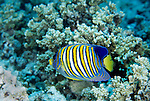 Moorea, French Polynesia; Regal Angelfish (Pygoplites diacanthus), solitary or in pairs, found in lagoons and outer reefs to 48 meters, in the Indo-Pacific Ocean region, Red Sea and E. Africa to Indonesia, Philippines and  Polynesia. S.W. Japan to N. Australia and New Caledonia, to 25 cm , Copyright © Matthew Meier, matthewmeierphoto.com All Rights Reserved
