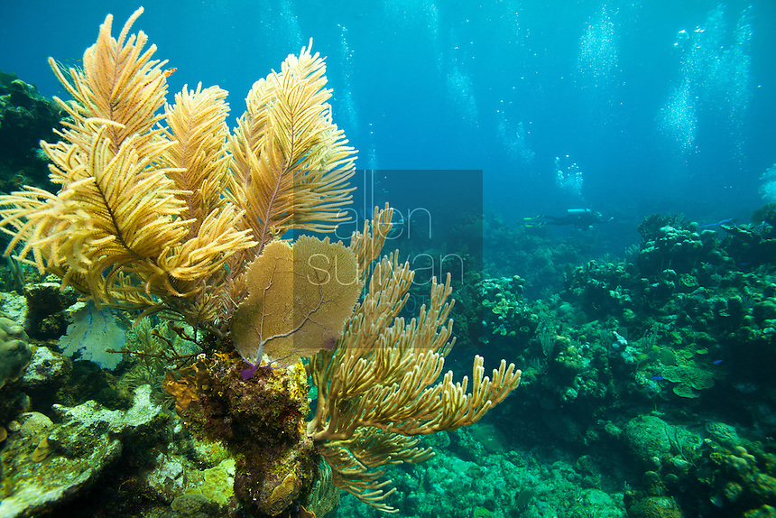Sea rod (muricea laxa) and other coral with scuba divers; Roatan, Honduras.