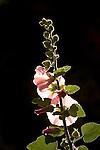 Holyhock flower.