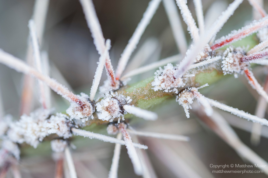 Tucson, Arizona; spines on the pads of a Prickly Pear Cactus (Opuntia sp.) covered in early morning frost