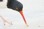 American Oystercatcher (Haematopus palliatus), closeup of individual feeding by using its chisel-shaped bill to pry open shellfish, Fort De Soto Park, Florida, USA