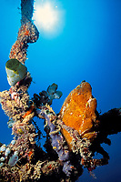 giant frogfish, Antennarius commersonii, Mabul Island, Sabah, Borneo, Malaysia