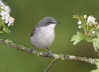 Lesser Whitethroat - Sylvia curruca