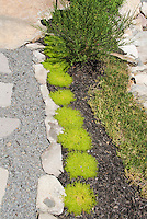 Sagina moss in the garden instead of lawn grass alternative