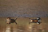 559287009 a male and female hooded merganser lophodytes cucullatus at the edge of an estuary near santa barbara california