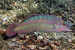 Halichoeres bivittatus, Slippery dick, Blue Heron Bridge, Florida