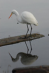 Great egret in Goleta