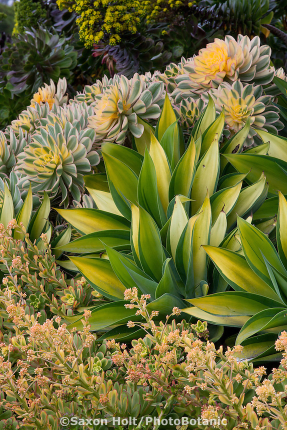 Variegated foliage succulents, Aeonium 'Sunburst', Agave attenuata 'Kara's Stripes', and Aeonium 'Blushing Beauty' in garden bed at Succulent Gardens nursery, Castroville, California