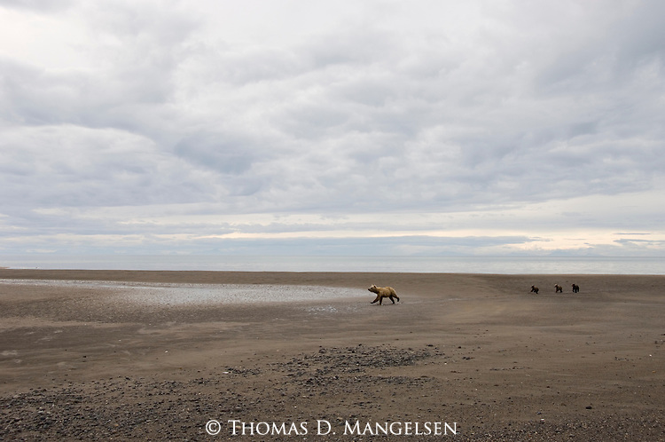 Brown bear mother and her three cubs running alongside Silver Salmon Creek in Lake Clark National Park.