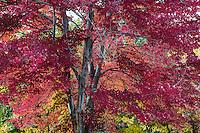 Autumn, Maple Tree