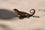 Curly-tailed Lizard of Little Cayman Island. The curly-tailed lizards are a family, Leiocephalidae, of lizards