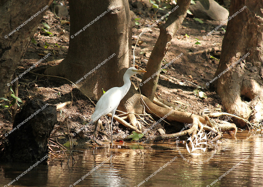 A snow white beautiful great egret walking in the river in forest