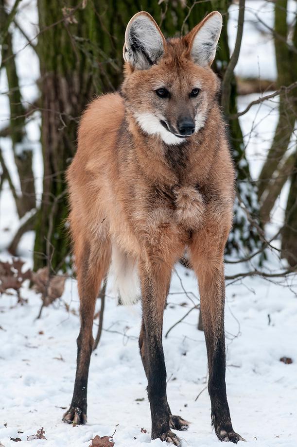 Manenwolf (Chrysocyon brachyurus)