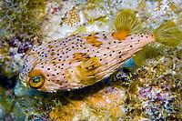 spiny porcupinefish, Diodon holocanthus, Florida, Atlantic