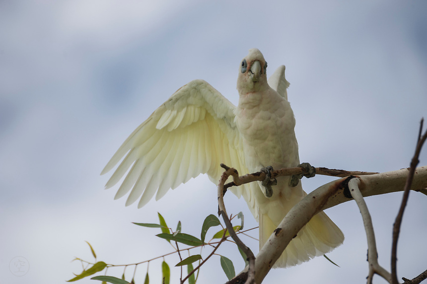 A little corella flaps its wings in a gumtree in South Australia's Riverland.