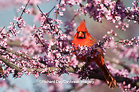01530-20404 Northern Cardinal (Cardinalis cardinalis) male in Eastern Redbud (Cercis canadensis) in spring, Marion Co., IL