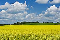 canola crop in bloom<br /> New Liskeard<br /> Ontario<br /> Canada