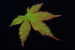 Acer leaf floating on pond water, Kent, UK, black background.United Kingdom....