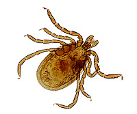 ECTOPARASITE<br /> Deer Tick, LM 40x mag<br /> Carrier of Lyme Disease,  Ixodes scapularis. Ectoparasites live outside the body