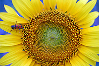 A pollen-covered whimsical beetle rests atop a sunflower, Turkey