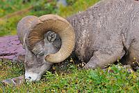 Rocky Mountain Bighorn Sheep ram or Mountain Sheep ram (Ovis canadensis) sleeping.  Glacier National Park, Montana.  Fall.