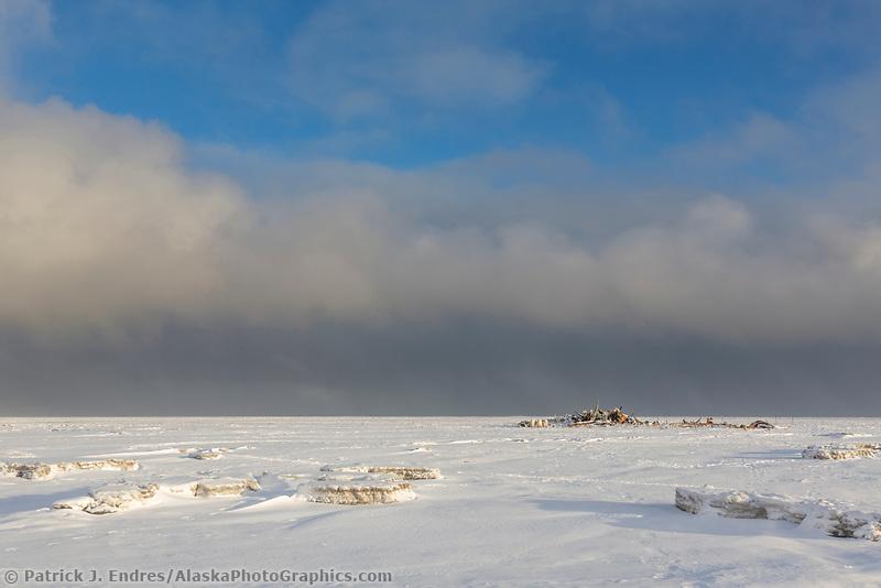Polar bears at the bowhead whale bone pile on Barter Island, Alaska.