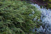 Microbiota decussata (Siberian Carpet Cypress) - Albers Vista Gardens
