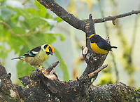 Flame-faced tanager, Tangara parzudakii lunigera (left), and orange-bellied euphonia, Euphonia xanthogaster. Tandayapa Valley, Ecuador