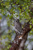 Fledgling Northern Hawk Owl (Surnia ulula). Finland. June.