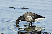 Brent Goose, dark-bellied race Branta bernicla L 56-61cm. Our smallest goose – similar size to Shelduck. Subtle plumage patterns allow separation of two subspecies that winter here: Pale-bellied Brent B.b.hrota (breeds on Svalbard and Greenland) and Dark-bellied Brent B.b.bernicla (breeds in Russia). Seen in sizeable and noisy flocks. In flight, looks dark except for white rear end. All birds have a black bill and black legs. Sexes are similar. Adult Pale-bellied has blackish head, neck and breast; side of neck has narrow band of white feathers. Note neat division between dark breast and pale grey-buff belly. Back is uniform dark brownish grey. Adult Dark-bellied is similar but belly is darker and flanks are paler. Juveniles are similar to respective adults but note pale feather margins on back and absence of white markings on side of neck; white on neck is acquired in New Year. Voice Very vocal, uttering a nasal krrrut. Status Winter visitor to coasts.