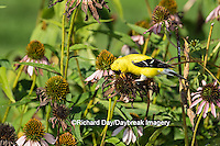 01640-16307 American Goldfinch (Spinus tristis) male eating Purple Coneflower seeds., Marion Co., IL