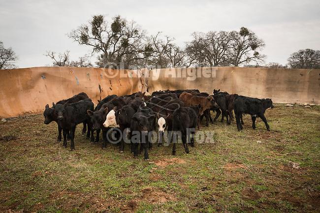Calf marking at the Joses Ranch,Telegraph City, Calaveras County, Calif...Calves bunching in the corner before branding.