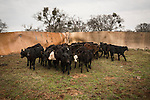 Calf marking at the Joses Ranch,Telegraph City, Calaveras County, Calif...Calves bunching in the corner before branding.