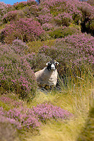Swaledale ewes and Heather  in Trough of Bowland, Lancashire.