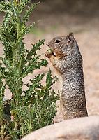 Rock Squirrel, Otospermophilus variegatus, at the Riparian Preserve at Water Ranch, Gilbert, Arizona
