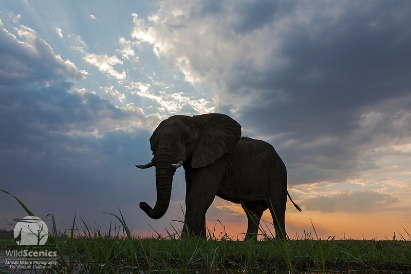 Elephant on the Chobe River front