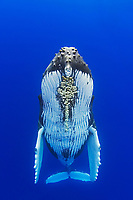 humpback whale, Megaptera novaeangliae, note parasitic acorn barnacles under chin, Cornula diaderma, Hawaii, Pacific Ocean
