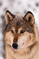 Europe/Finlande/Laponie/Kongäss: Loups au  Levi - Husky Park