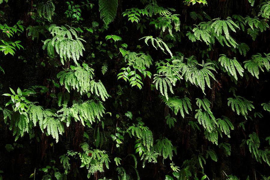 Detail of ferns on canyon wall, Fern Canyon, Prairie Creek Redwoods State Park, Humboldt County, California, USA