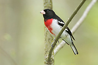 Adult male Rose-breasted Grosbeak (Pheucticus ludovicianus). Tompkins County, New York. May.