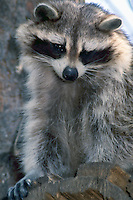 Wild Raccoon (Procyon lotor) standing on Tree Stump