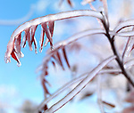 Artistic closeup of a frozen tree branches and ice covered leaves against blue sky