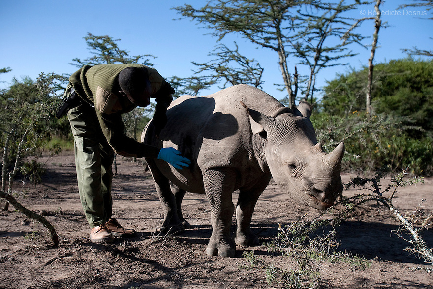 Mohamed Doyo, a keeper and employee at Ol Pejeta conservancy pets a Southern White Rhino at Ol Pejeta Conservancy, Laikipia, Kenya on January 17, 2010. On December 20, 2009, four of the world's last eight known surviving northern white rhinos were relocated from captivity back to the wild in a last bid to save them from extinction. The four rhinos, two males and two females, named Sudan, Suni, Fatu and Najin - were transferred by air from Dvur Králové Zoo in the Czech Republic to the Ol Pejeta Conservancy in Laikipia, Kenya. It is thought that the climatic, dietary and security conditions that the rhinos will enjoy at Ol Pejeta will provide them with higher chances of starting a population in what is seen as the very last lifeline for the species. Photo credit: Benedicte Desrus