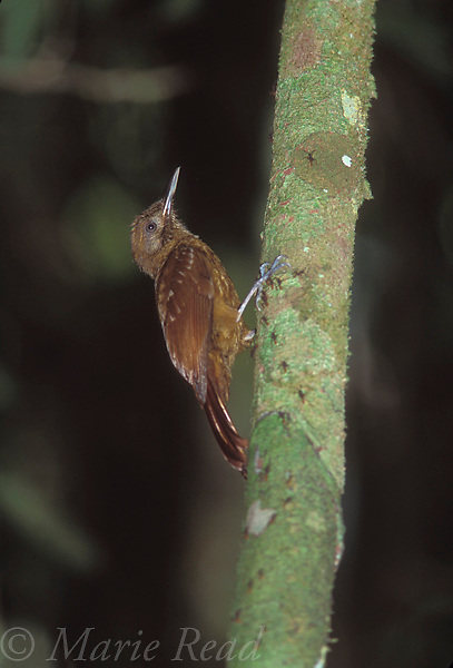 Plain-Brown Woodcreeper (Dendrocincla fuliginosa) foraging at an army ant swarm (note ants on treetrunk), Soberania National Park, Panama<br /> Slide # B99-106