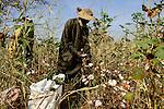 BURKINA FASO , Obiré, Gan kingdom, men harvest cotton by hand at farm of 29th. Gan king SA MAJESTÉ ROI GAN / Maenner ernten Baumwolle per Hand auf der Farm des Gan Koenig SA MAJESTÉ ROI GAN