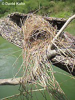 0701-1106  Social Flycatcher Nest (Vermilion-crowned Flycatcher), Enclosed Cup Nest Built Above Water, Belize River in Belize, Myiozetetes similis  © David Kuhn/Dwight Kuhn Photography