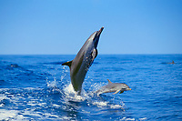 pantropical spotted dolphin, Stenella attenuata, mother and calf, jumping, Kona Coast, Big Island, Hawaii, USA, Pacific Ocean