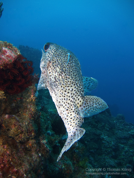 Kenting, Taiwan -- Porcupinefish  (Diodon hystrix) with a remora or cobia attached on its back.